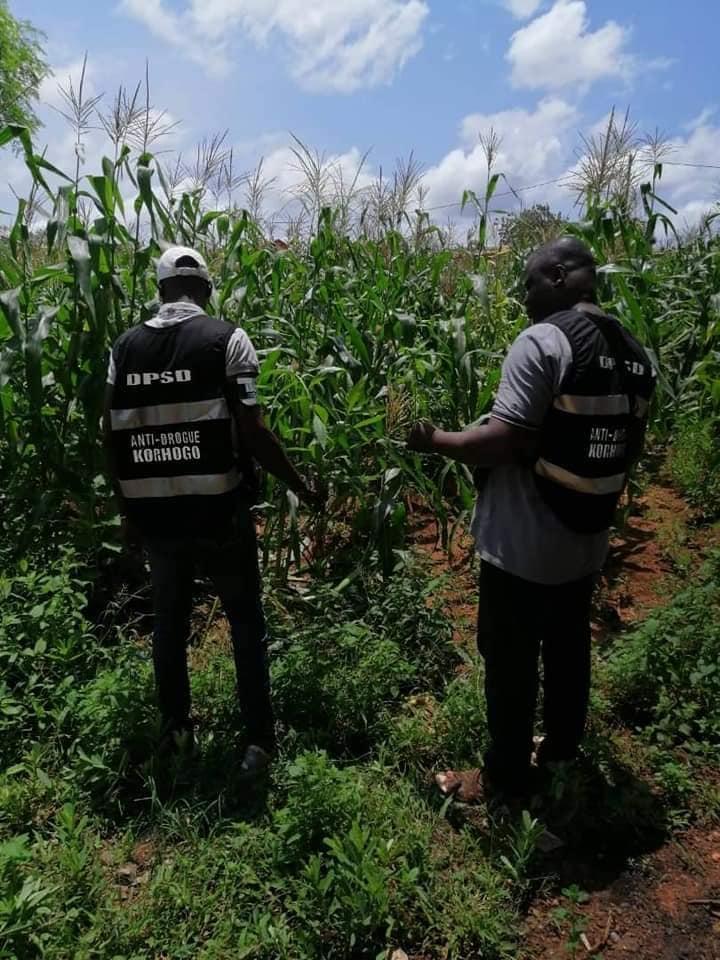 Côte d'Ivoire : découverte d'une plantation secrète de cannabis dans une prison