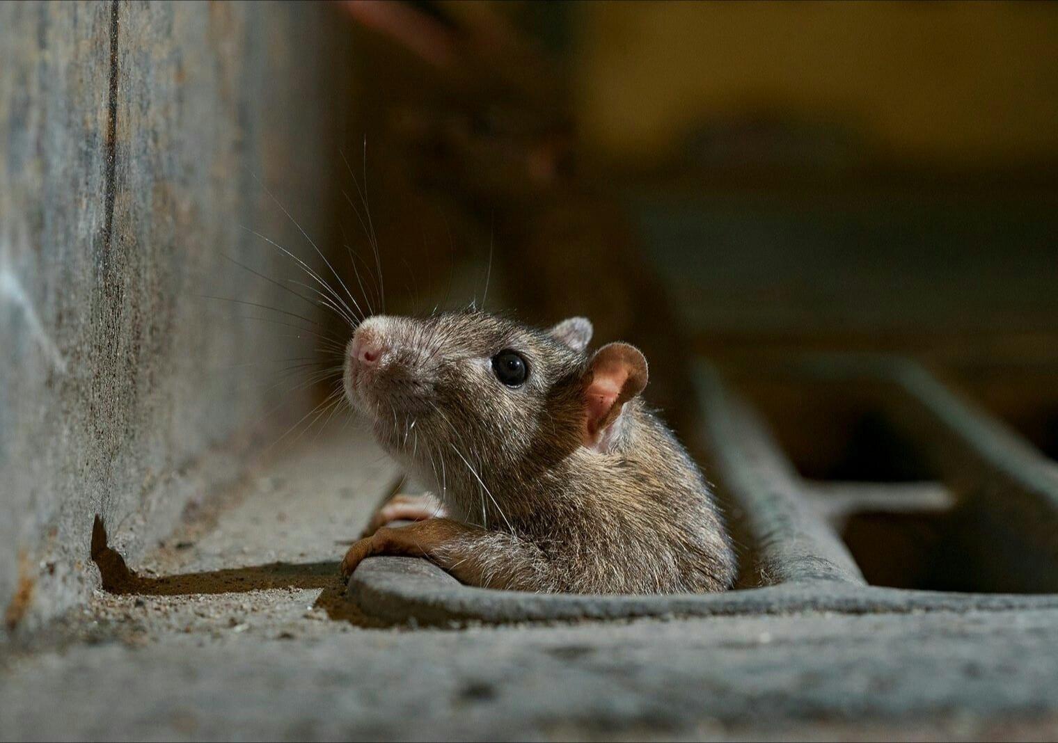 Un incroyable rat  trouvé dans les égouts de Mexico (Photo)