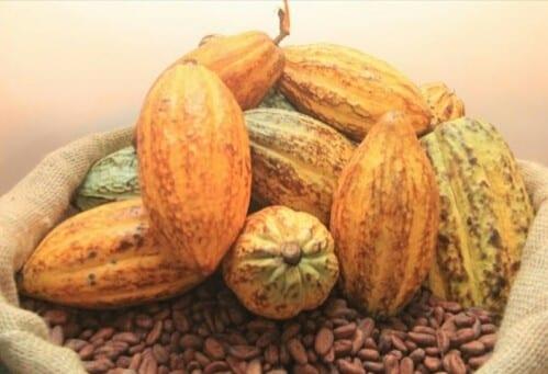Côte d'Ivoire : Le prix bord champ du cacao monte à 1000 francs CFA/kg