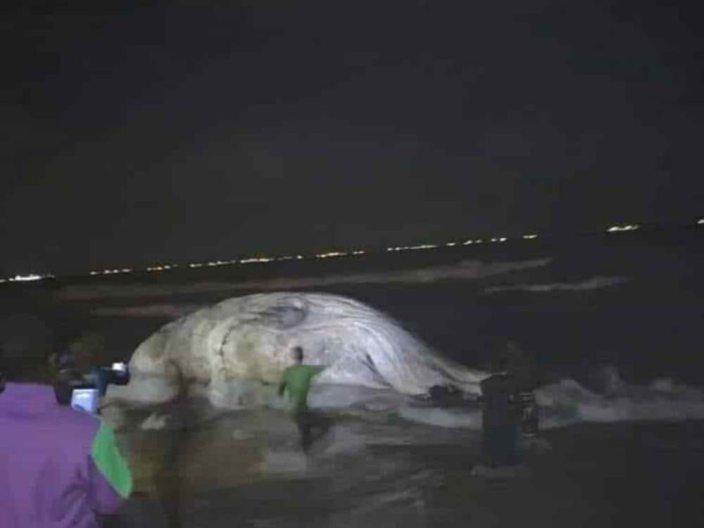 Une grosse baleine échoue encore sur la place de Lomé