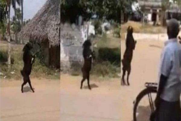Inde : des villageois stupéfaits de voir une chèvre marcher sur ses deux pattes arrières (vidéo)