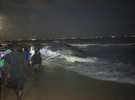 Une seconde baleine retrouvée morte sur la plage de Lomé