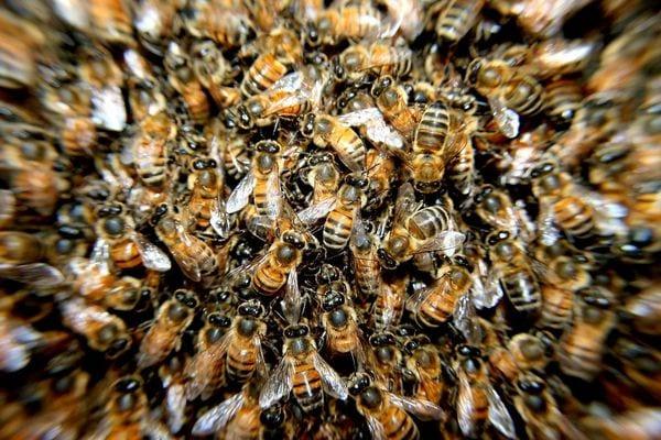 Togo: il meurt après avoir été attaqué par des abeilles