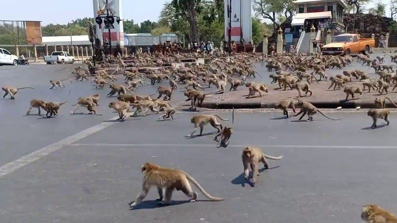 Inde : des singes affamés prennent d'assaut une ville touristique