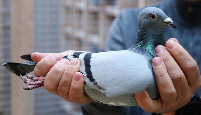 Un pigeon voyageur vendu au prix record de 1,6 million d'euros