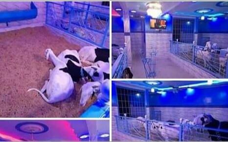 Un richissime africain élève ses moutons dans une maison confortable