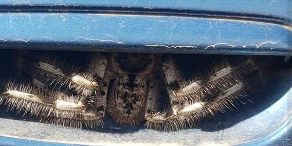 Australie : elle tombe sur une araignée géante logée dans la poignée de la portière de sa voiture