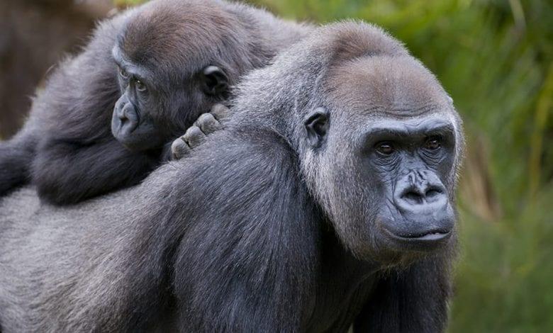 Coronavirus/ Deux gorilles testés positifs à la Covid-19 dans un zoo