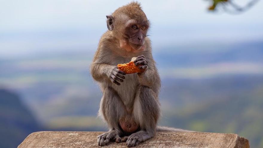 Les singes de Bali savent voler les objets précieux des touristes