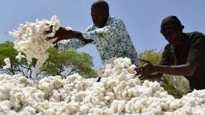 Bénin : 4 tonnes de cotons brûlées par un enfant