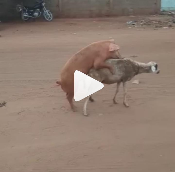 Un porc s'accouple avec une brebis en pleine rue (vidéo)