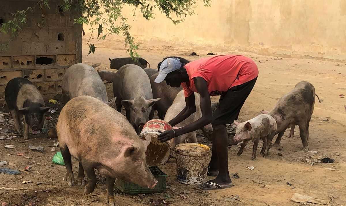 A la découverte de l'élevage de porcs au Sénégal