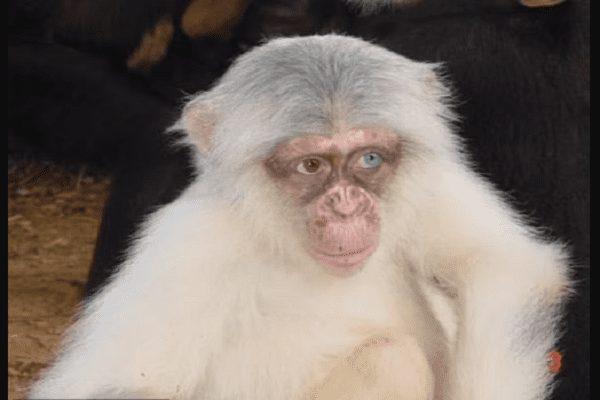 Mauvaise Nouvelle Pour Le Tout Premier Chimpanzé Albinos Sauvage Repéré En Ouganda